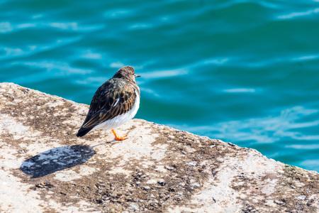 Bel oiseau (mouette) regardant la mer. Tournepierre à collier (Arenaria interpres, Tournepierre). Banque d'images