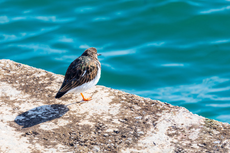 Nice bird (seagull) looking at the sea. Ruddy Turnstone (Arenaria interpres, Turnstone).