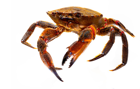 Galician Necoras (from Galicia) in movement. Delicious seafood from the Bay of Biscay and Atlantic. Fresh and alive crabs isolated on white background.
