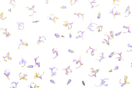 Texture of delicate purple flowers of fresh rosemary and green. Isolated on white background. Banco de Imagens