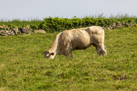 Bull (cow) grazed on green meadow. Cantabria. Imagens