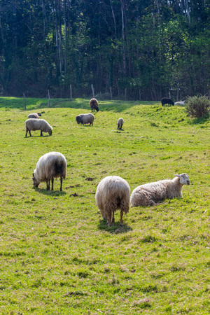 Flock of long-haired sheep (light wool) of white color, grazing on green meadow. Cantabria. Banco de Imagens