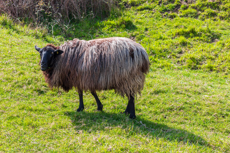 Sheep of long hair (wool) of black and white color. Cantabria. Banco de Imagens