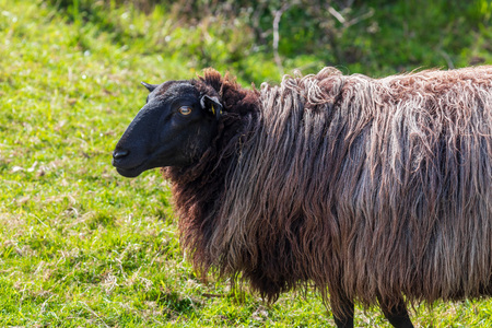 Close-up of sheep with long hair (wool) of black and white color. Cantabria.