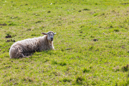 Sheep with long hair (light wool) of white color, lying on green meadow. Cantabria.
