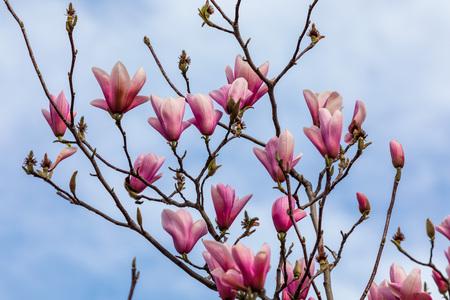 Beautiful texture of magnolio flowers (magnolia soulangeana) over blue sky