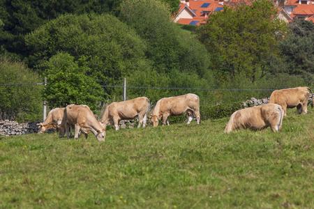 Herd of bulls and cows grazed on green meadow. Cantabria. Banco de Imagens