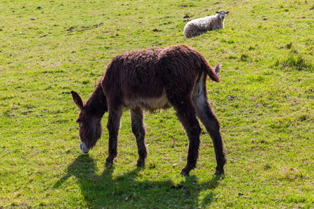 Beautiful donkey and sheep grazing on sunny day.