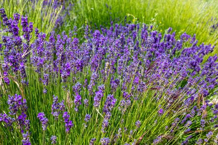 Beautiful and colorful lavender (aromatic) plant full of flowers. Foto de archivo