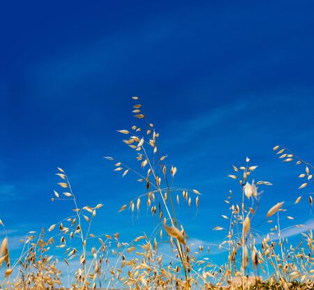 Close-up of oat and golden cereal by the sun over lovely blue sky. Space to insert your text.