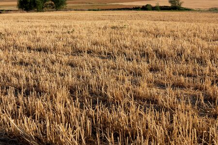 Field of cereals (wheat, barley, oats) harvested (mowed) in summer.