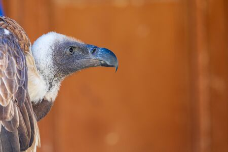 Close-up of Leonado Vulture (Gyps fulvus) adult. Space to insert your text.