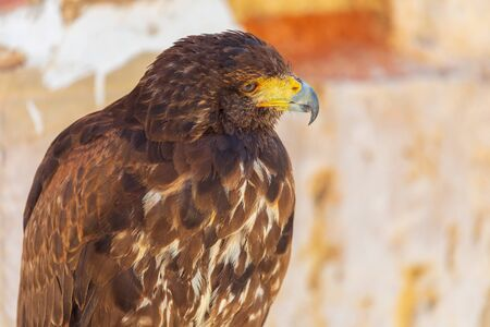 Close-up of the Golden Eagle (Aquila chrysaetos) adult. Also known as caudal eagle. Ring for falconry.