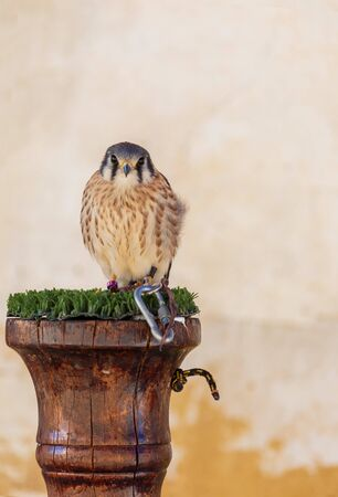 Close-up of Kestrel (Falcon sparverius cinnamominus) adult male. With space to insert your text. Stock Photo