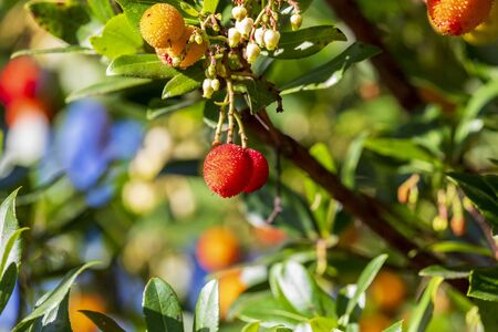 Mature and semi-ripe fruits of madroño (Ripe arbutus). Natural texture of green leaves and red berries