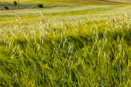 Beautiful field of cereals (wheat, barley, oats) green on a sunny spring day. Space to insert your text. Фото со стока