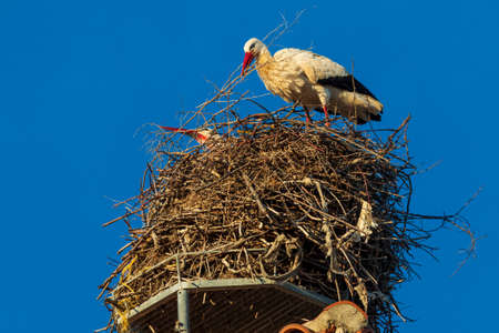 Pair of storks making a nest on the roof of a church. Sunny day and blue sky. Фото со стока