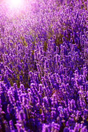 Purple background of lavender flowers with sun flare on a sunny spring day.
