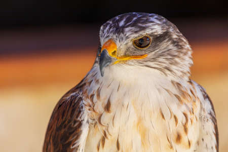 Close-up of Blue-billed Eagle (Aquila fasciata) adult. Ring for falconry. Reklamní fotografie