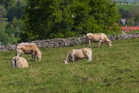 Herd of bulls and cows grazed on green meadow. Cantabria. Stock fotó
