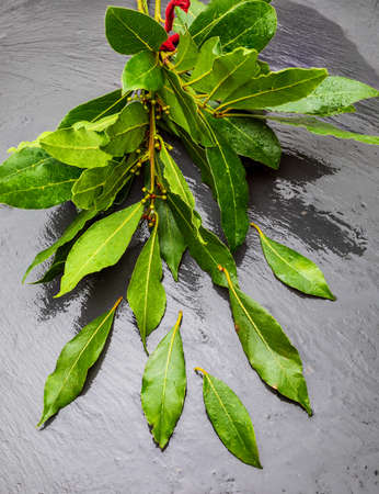 Bouquet of fresh bay leaves on black background.