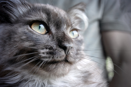 Long-haired gray cat, portrait close-up