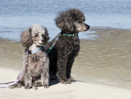 Grey and black poodles sitting on the beach photo