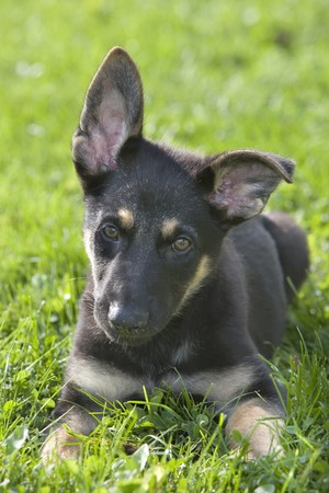 German shepherd puppy laying in the grass photo