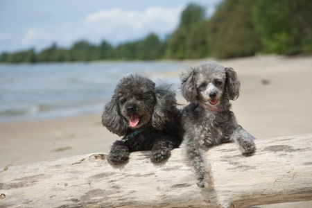 Grey and black poodles on driftwood at the beach photo