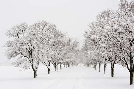 tree canopy: View down a tree lined road in a snow storm