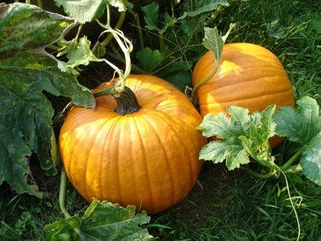 Two pumpkins in a pumpkin patch. Stock Photo