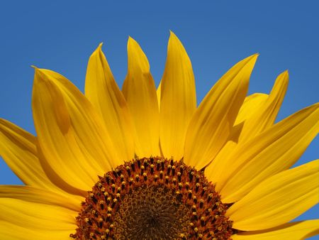 troy: Closeup view of the top of a sunflower in summer. Stock Photo