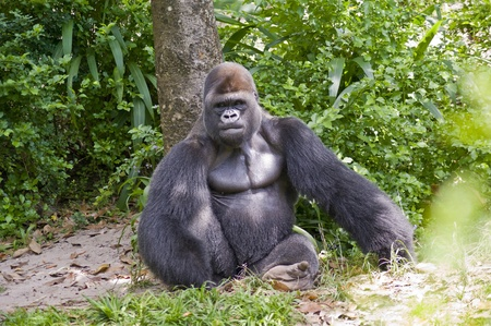 View of a gorilla sitting in the wild. Stock Photo