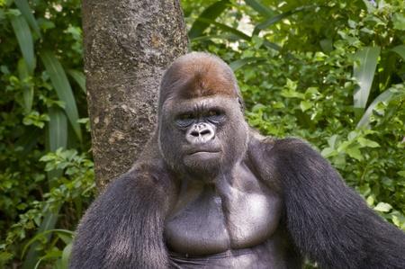 Bouchent la vue d'un gorille dans la nature. Banque d'images - 8605035