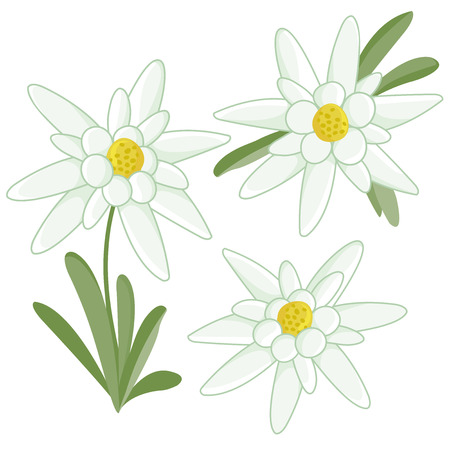 Edelweiss flowers Vettoriali