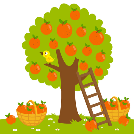 Orange tree, ladder and basket full of harvested oranges