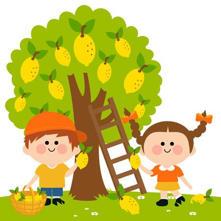 orchard fruit: Kids harvesting lemons.