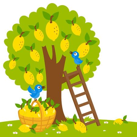 Lemon tree harvesting