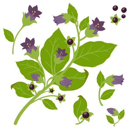 belladonna: Belladonna plant