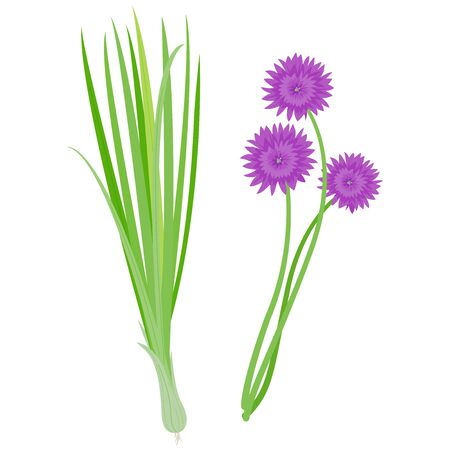 Fresh chives bunch and blossoms.