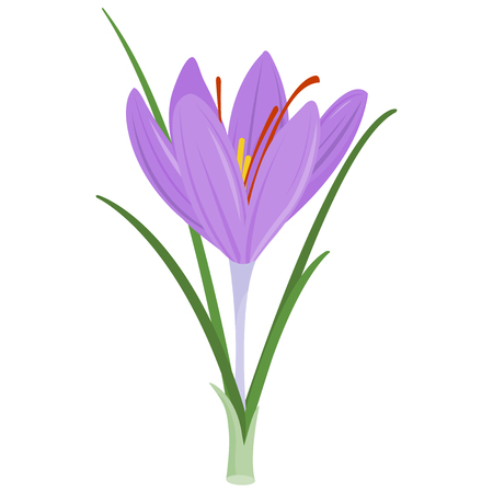 Saffron crocus flower Vector illustration.