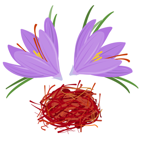 꽃 크로커스와 말린 사프란 향신료입니다. 크 로커 스 사티 바스 일러스트