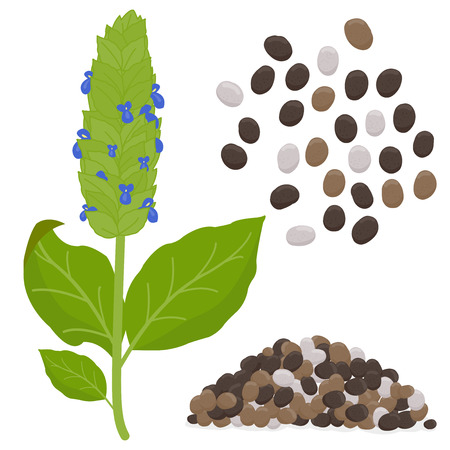 Chia plant and seeds. Vector illustration