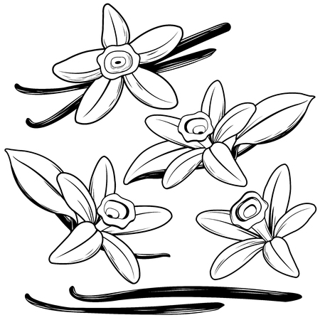 Vanilla flowers and sticks. Black and white illustration Illustration