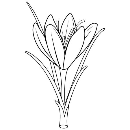 Saffron crocus flower. Crocus sativus. Black and white coloring book page