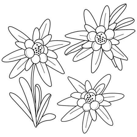 Edelweiss flowers. Black and white coloring page