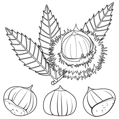 Sweet chestnut plant and fruit. Vector black and white coloring page Stock Illustratie