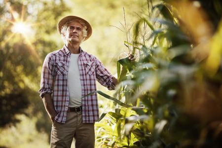 Glücklicher Landwirt auf dem Gebiet Kontrolle von Maispflanzen während einem sonnigen Sommertag, in der Landwirtschaft und Lebensmittelproduktion Konzept