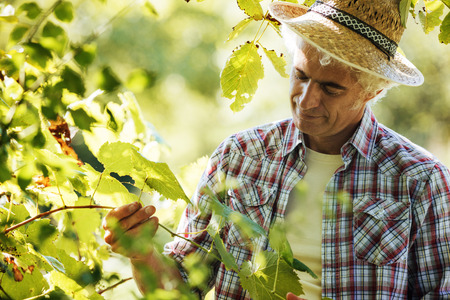 dearth: Confident farmer in the vineyard checking vines, wine production and agriculture concept Stock Photo