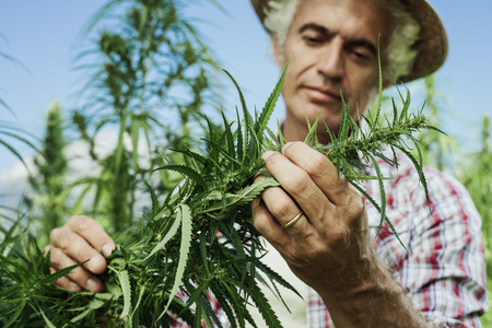 flowers field: Farmer growing hemp and checking plants growth, agriculture and environment concept Stock Photo